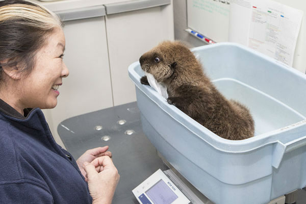 photos orphaned sea otter pup rescued by shedd aquarium