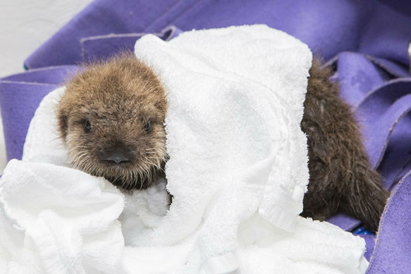 "<div class=""meta image-caption""><div class=""origin-logo origin-image ""><span></span></div><span class=""caption-text"">The orphan baby otter is getting the round-the-clock care that she needs to thrive at Shedd Aquarium.  She spent the first four weeks of her life at the Monterey Bay Aquarium. (©Shedd Aquarium/Brenna Hernandez)</span></div>"