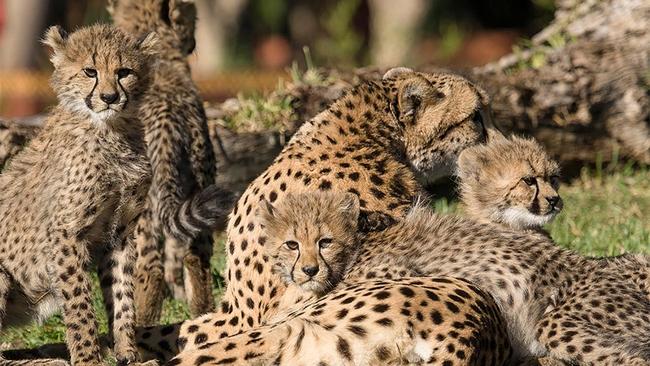 4 cheetah cubs move into exhibit at san diego zoo safari park