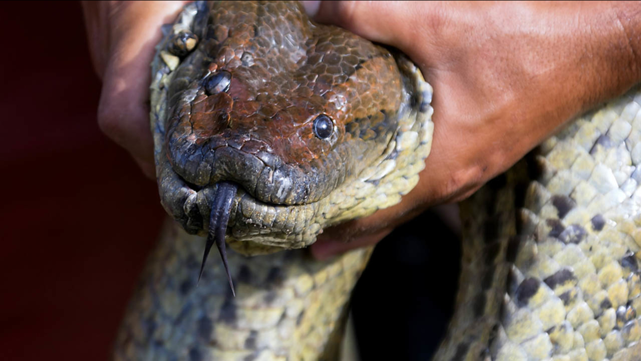 Man will be eaten alive by an anaconda on camera, suggests Discovery