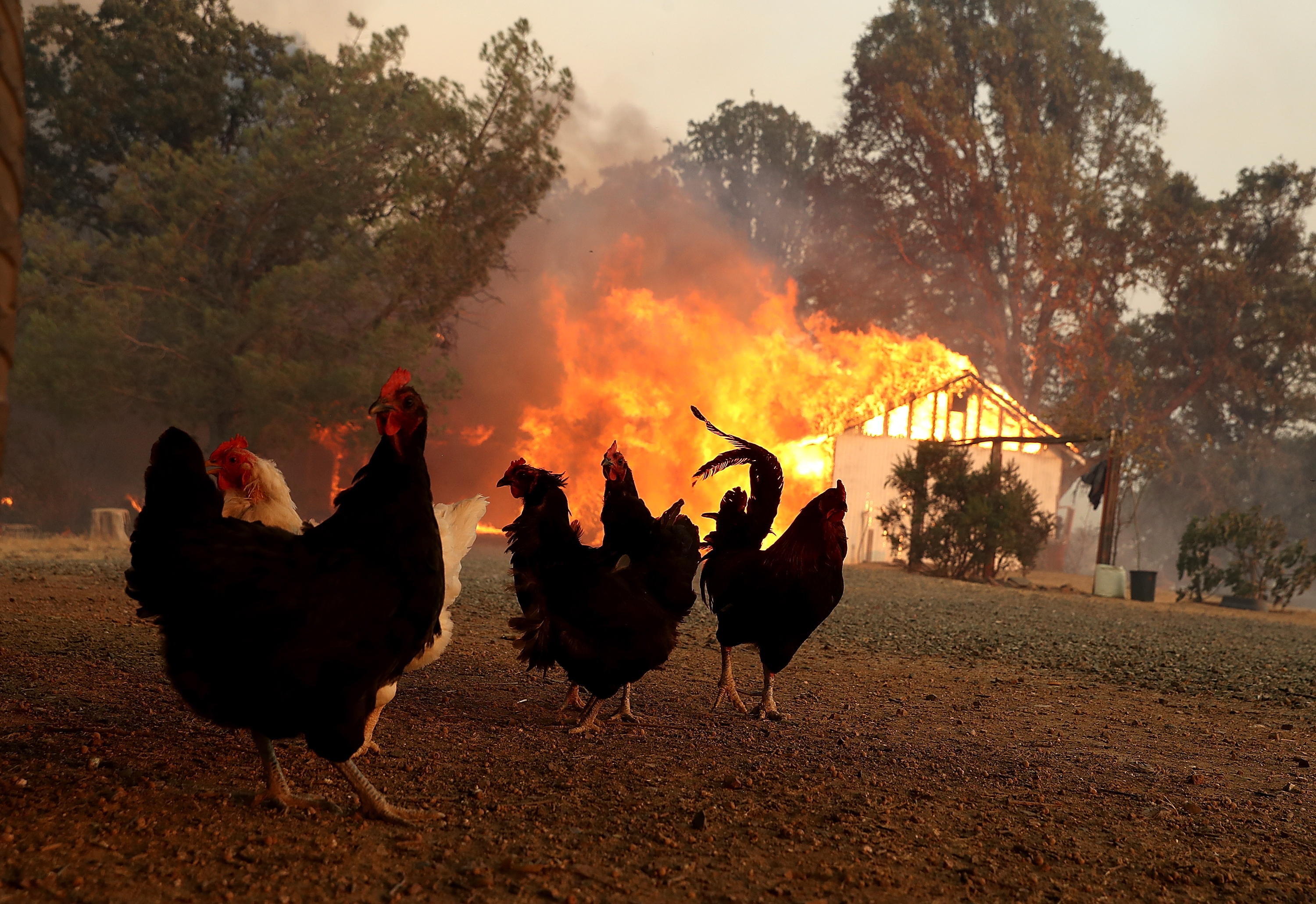 "<div class=""meta image-caption""><div class=""origin-logo origin-image none""><span>none</span></div><span class=""caption-text"">Chickens stand near a burning home as the River Fire moves through the area on July 31, 2018 in Lakeport, California. (Justin Sullivan/Getty Images)</span></div>"