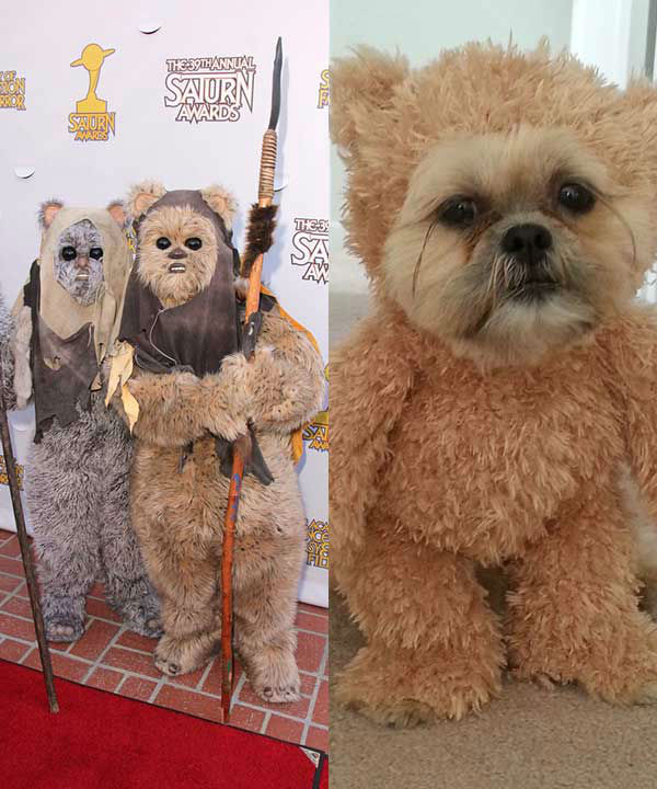 Munchkin The Shih Tzu Walks Around Dressed As Teddy Bear Internet