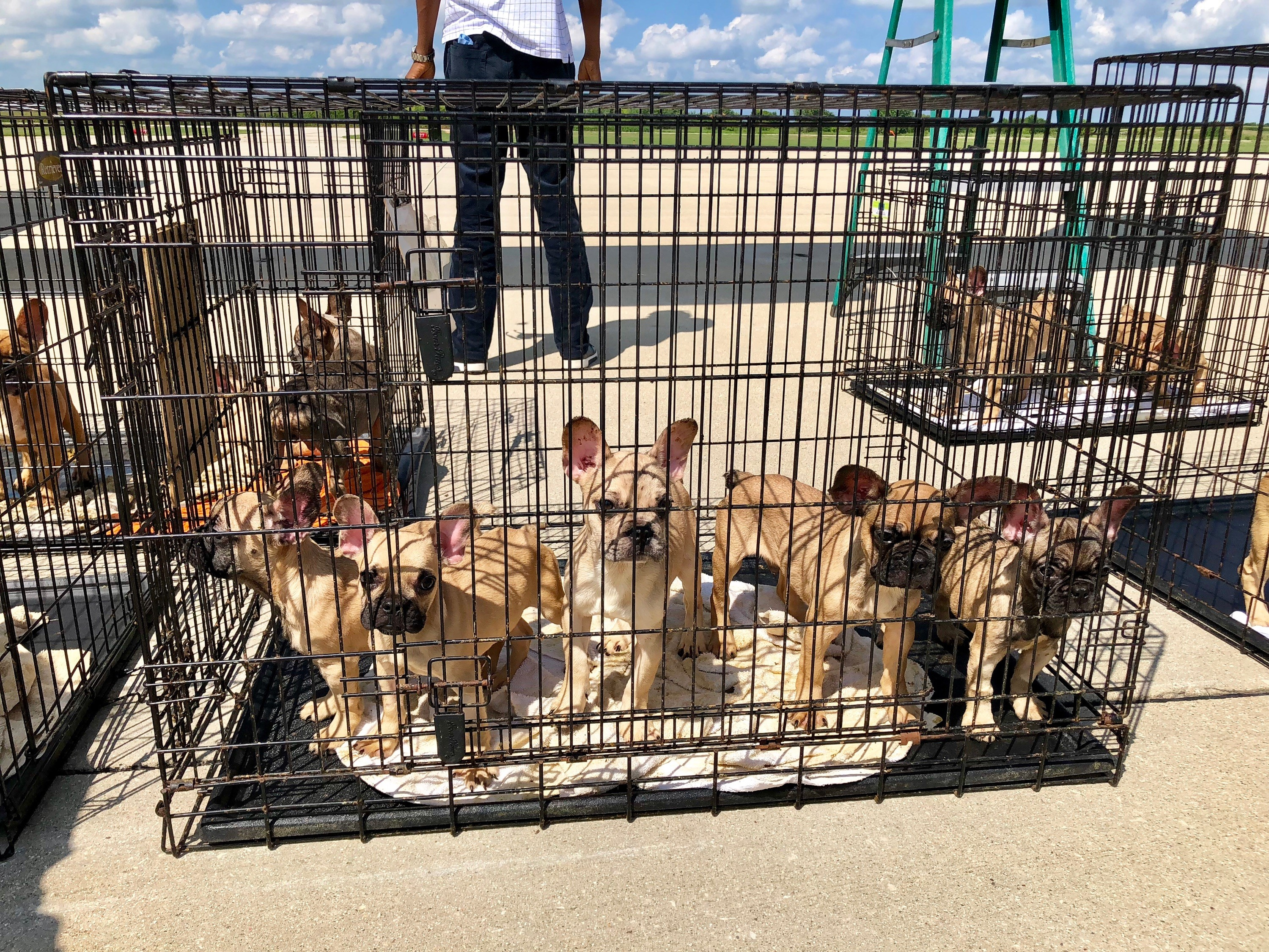 23 French Bulldog Puppies Rescued From Texas Brought To Chicago For