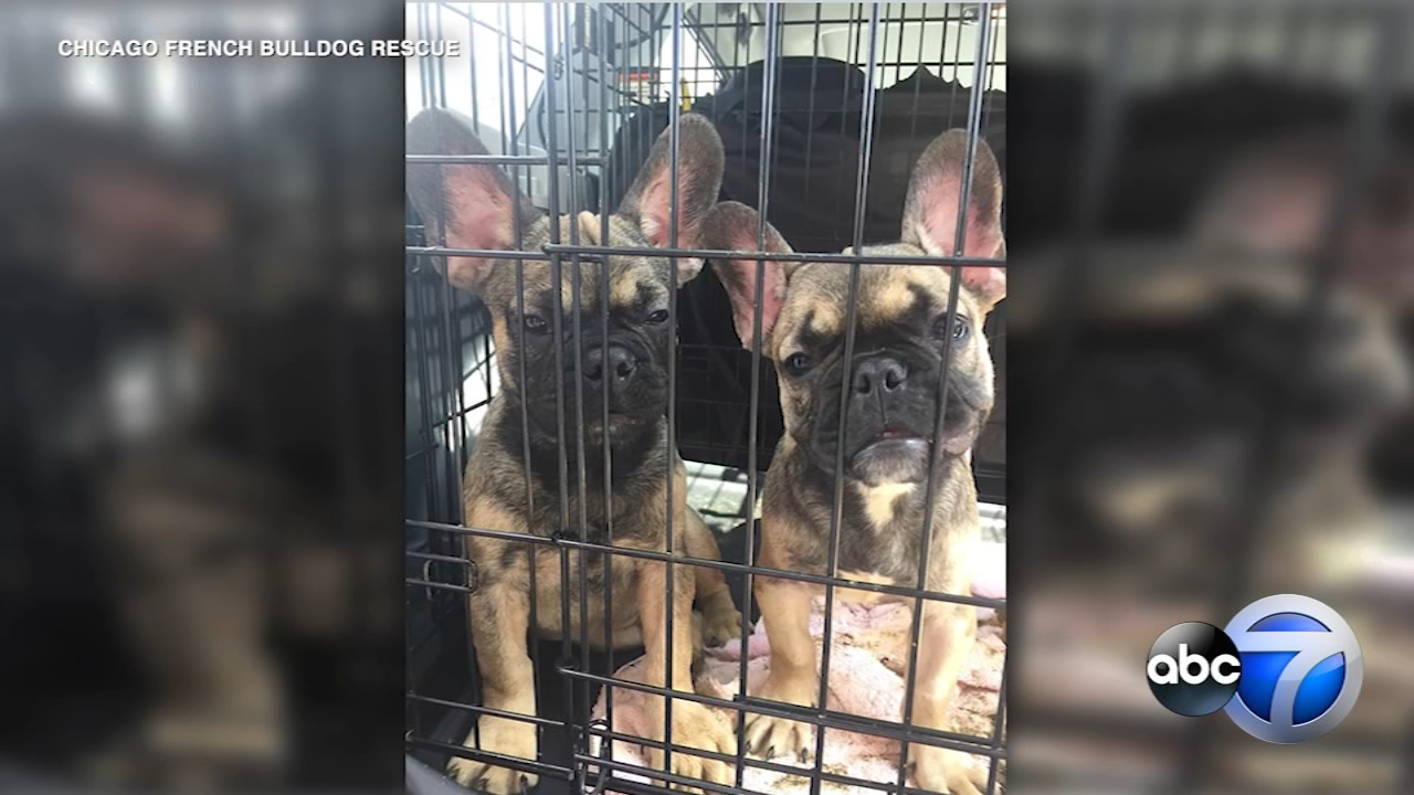 23 French bulldogs rescued from Texas will need months of