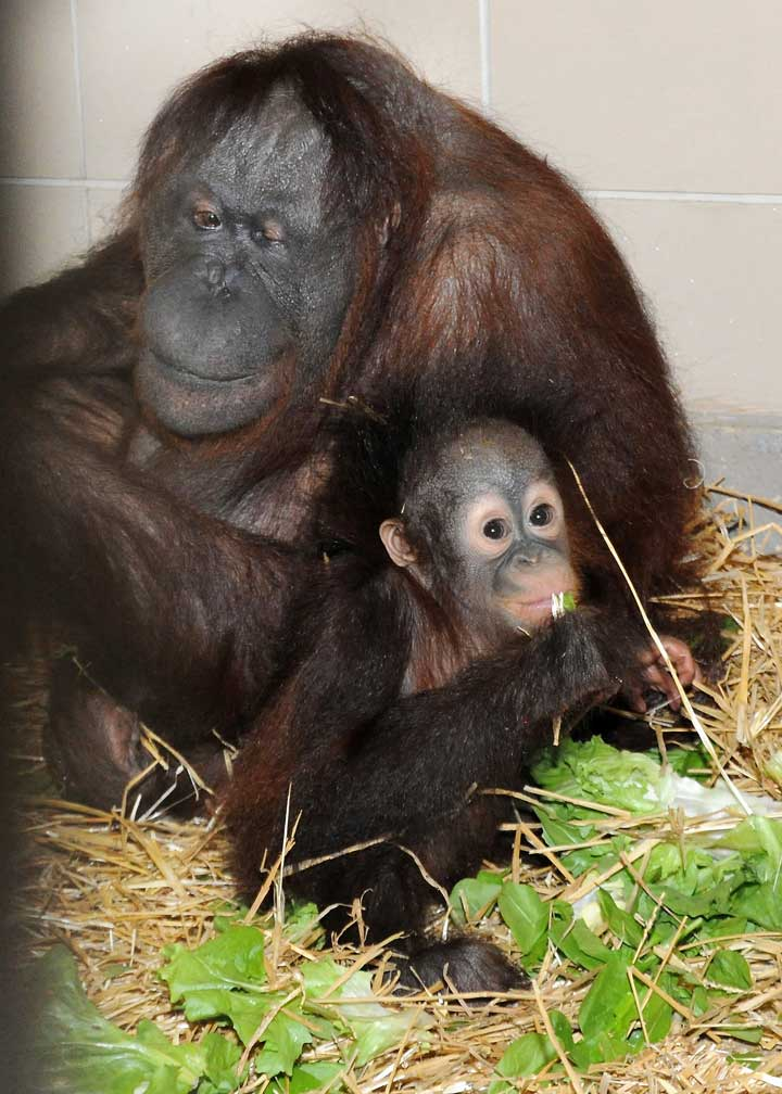 "<div class=""meta image-caption""><div class=""origin-logo origin-image ""><span></span></div><span class=""caption-text"">Kecil, 10 months, and his surrogate mother Maggie in Brookfield Zoo in November.</span></div>"