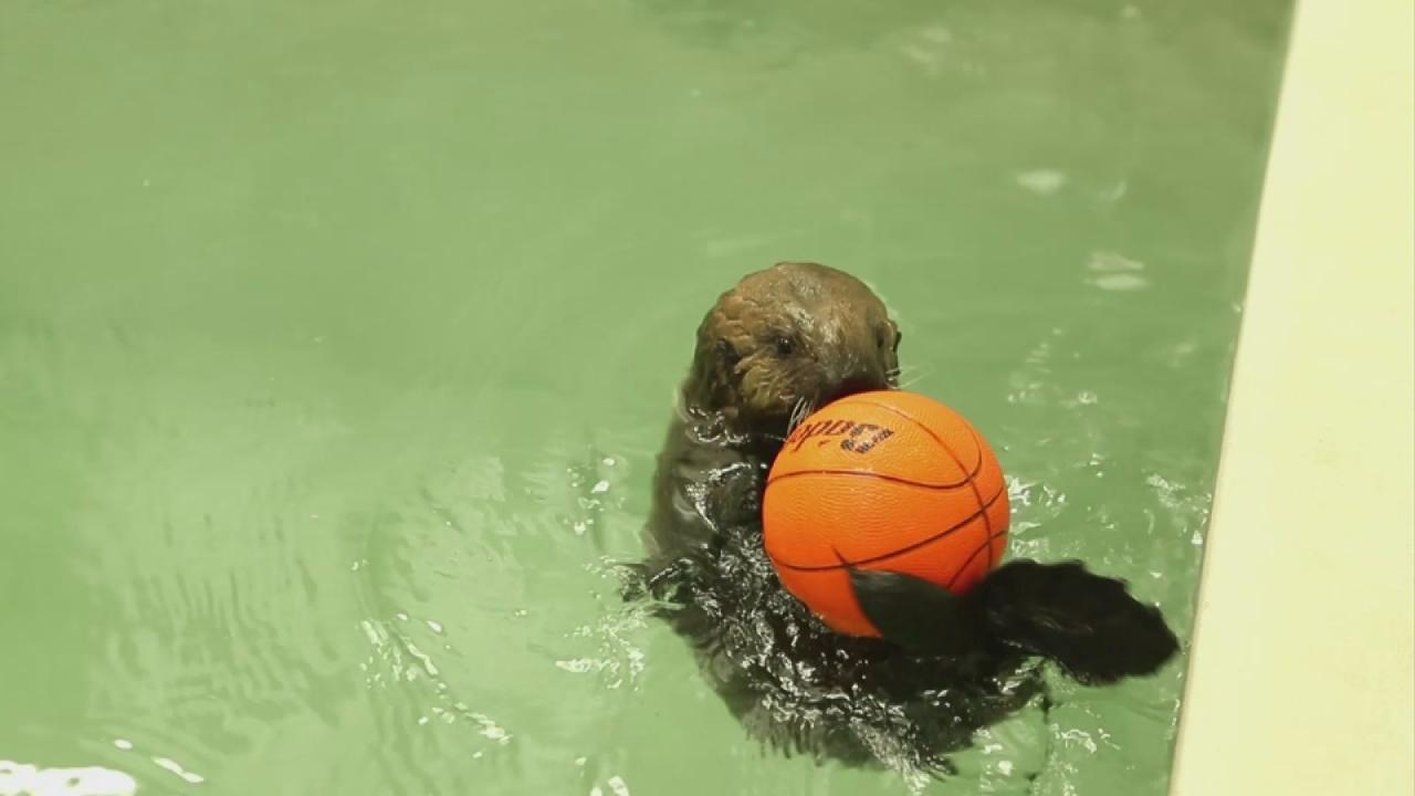 Sea otter pup plays at Shedd Aquarium