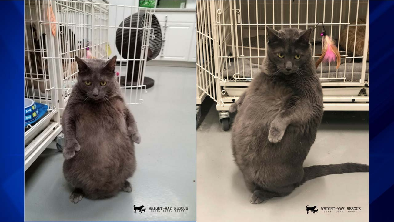 Bruno is a Russian Blue cat with a little extra fluff and a special skill: standing up on his hind legs.