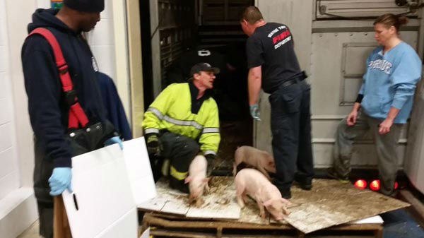 """<div class=""""meta image-caption""""><div class=""""origin-logo origin-image """"><span></span></div><span class=""""caption-text"""">Hundreds of baby piglets were rescued after a truck carrying them overturned in Indianapolis (Wayne Township Fire Department)</span></div>"""