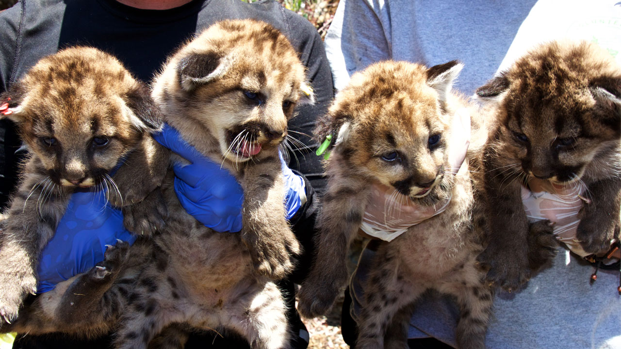 Four mountain lion kittens found in the Santa Monica Mountains are shown in a photo taken by National Park Service researchers.