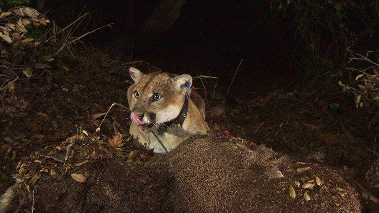 Griffith Park mountain lion photos show he's in good health