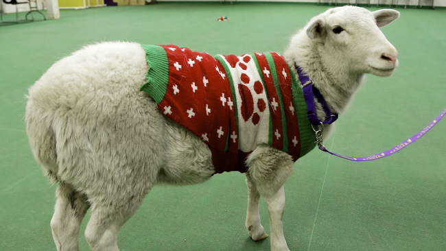 Image result for christmas sheep
