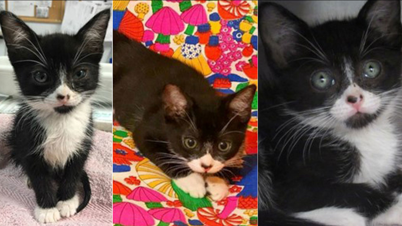 Elmer, a female kitten who was found in a glue trap, is shown in a series of photos provided by spcaLA.