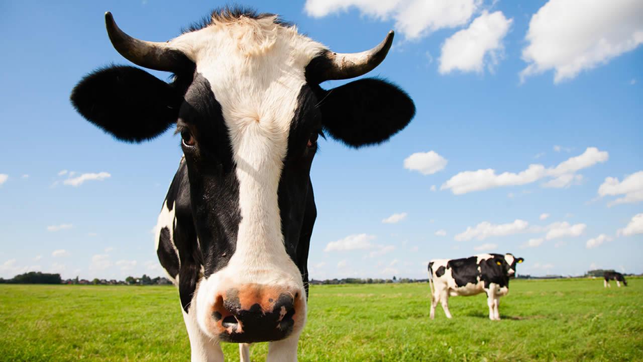 Portrait of a Dutch cow.