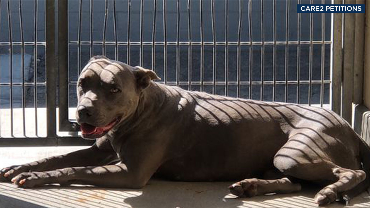 Precious, a 6-year-old pit bull, is shown in an undated photo posted on a petition website to save her.