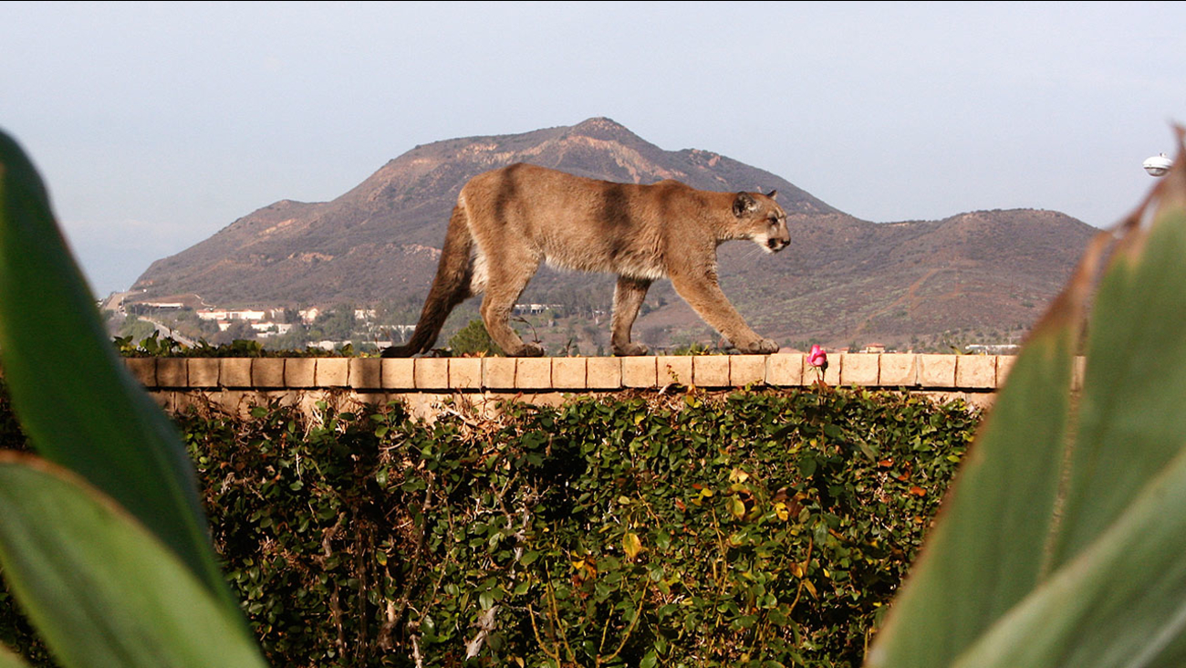 A mountain lion is seen walking across a Newbury Park backyard wall.