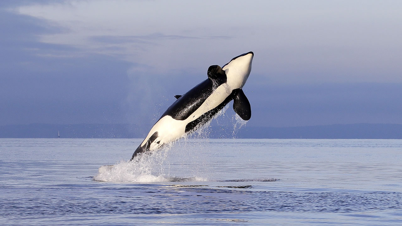 This Jan. 18, 2014 photo, an endangered female orca leaps from the water while breaching in Puget Sound west of Seattle.(AP Photo/Elaine Thompson)