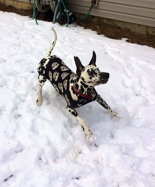 "<div class=""meta image-caption""><div class=""origin-logo origin-image ""><span></span></div><span class=""caption-text"">Louis the Dalmatian enjoying snow for the first time in Fayetteville. (iWitness Photo/Kaylen B.)</span></div>"