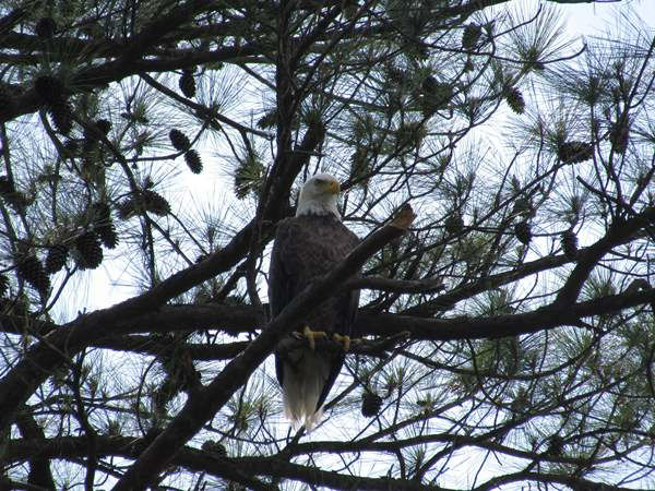 "<div class=""meta image-caption""><div class=""origin-logo origin-image ""><span></span></div><span class=""caption-text"">""Bald Eagles are everywhere on Jordan Lake, you just have to look up or you will miss them."" (iWitness Photo)</span></div>"