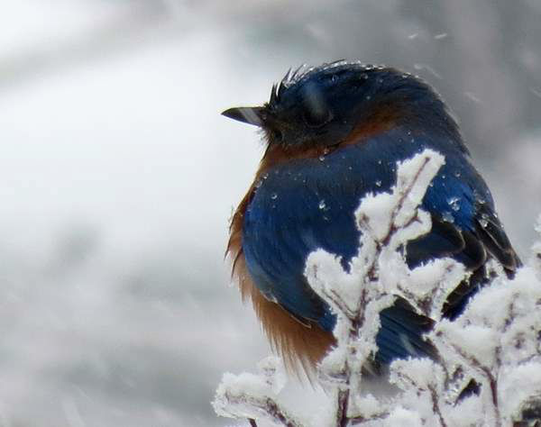 "<div class=""meta image-caption""><div class=""origin-logo origin-image ""><span></span></div><span class=""caption-text"">Bluebird all puffed up protecting himself from the cold. (iWitness Photo)</span></div>"