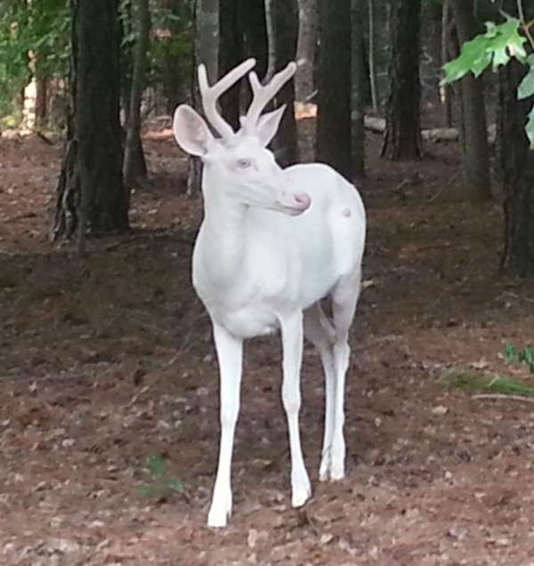 "<div class=""meta image-caption""><div class=""origin-logo origin-image ""><span></span></div><span class=""caption-text"">""The albino deer living in north Raleigh started growing his antlers this year."" (iWitness Photo)</span></div>"