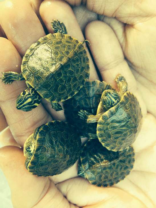 "<div class=""meta image-caption""><div class=""origin-logo origin-image ""><span></span></div><span class=""caption-text"">Green Slider baby turtles found in our swimming pool skimmer in Chatham County. Turtles were healthy beauties. They were placed on the banks of the Haw River. (iWitness Photo)</span></div>"