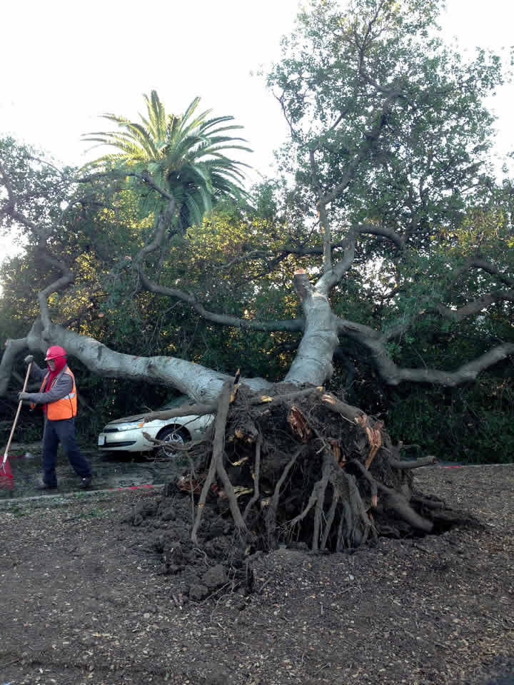 "<div class=""meta image-caption""><div class=""origin-logo origin-image ""><span></span></div><span class=""caption-text"">An oak tree that fell due to high winds at First and Hawthorne Way is seen in San Jose, Calif. on Wednesday, Dec. 31, 2014. (Image sent via uReport by Maureen)</span></div>"