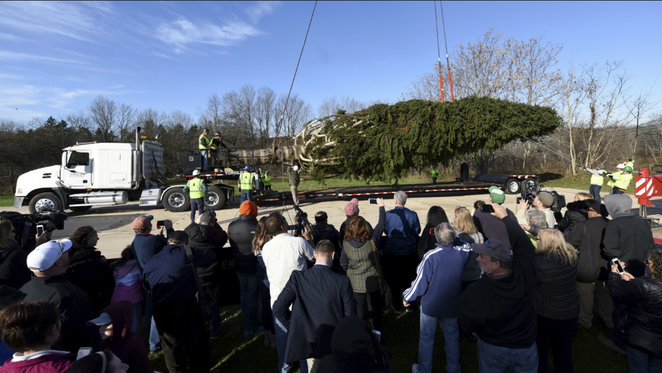 Rockefeller Christmas tree cut down at upstate New York home, ready ...