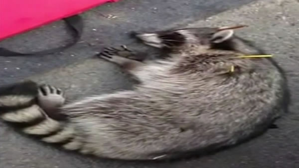 A passerby found the raccoon, alive but badly wounded, on Sunday in a church parking lot.