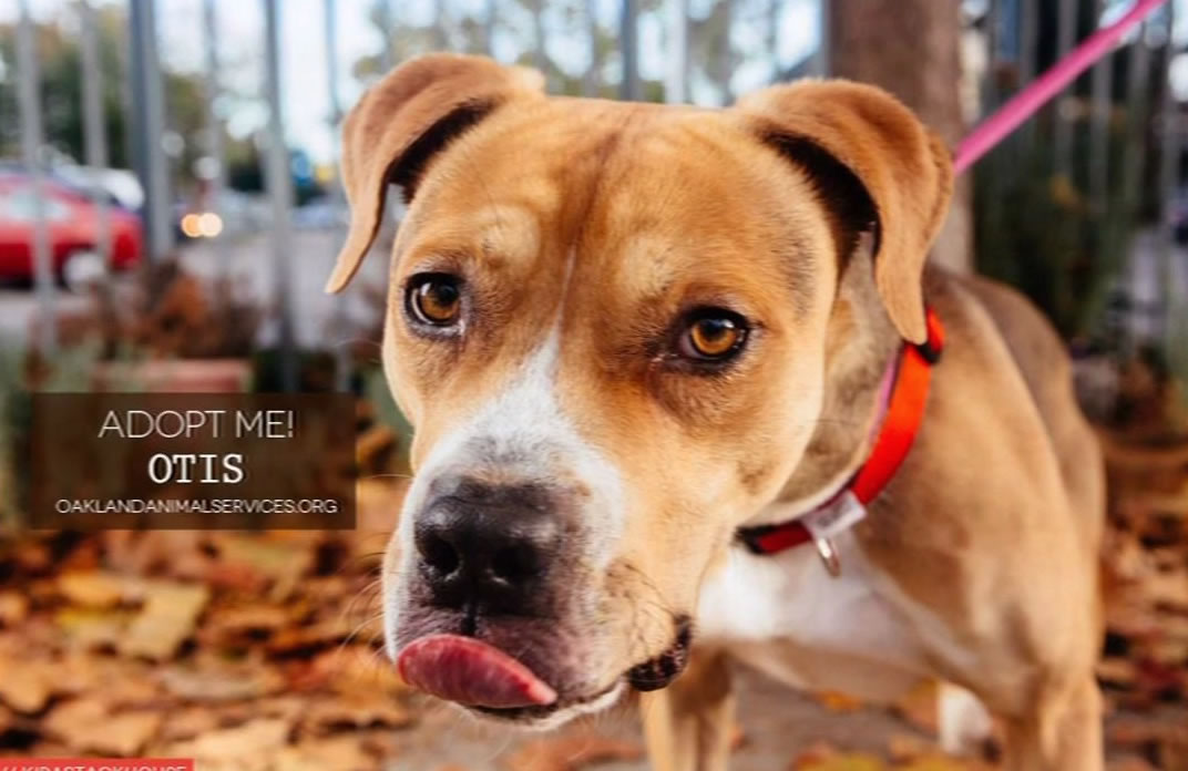 "<div class=""meta image-caption""><div class=""origin-logo origin-image ""><span></span></div><span class=""caption-text"">To adopt one of these ""Hard Luck Hounds,"" contact Oakland Animal Services at (510) 535-5602.</span></div>"
