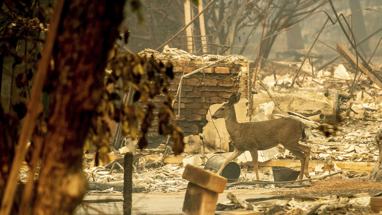 <div class='meta'><div class='origin-logo' data-origin='AP'></div><span class='caption-text' data-credit='AP Photo/Noah Berger'>A deer walks past a destroyed home on Orrin Lane after the wildfire burned through Paradise, Calif., on Saturday, Nov. 10, 2018.</span></div>