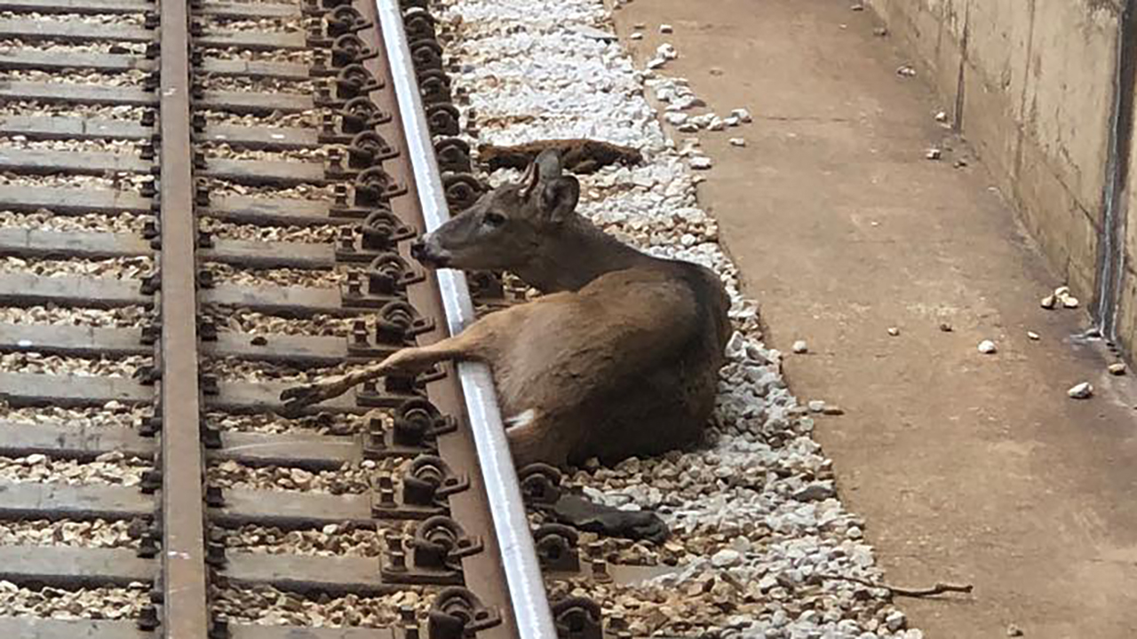 Deer removed from Blue Line tracks