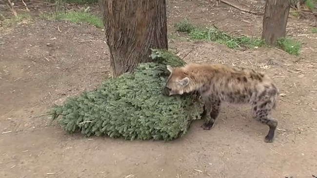 Animals At Oakland Zoo Enjoy Leftover Christmas Tree Treats