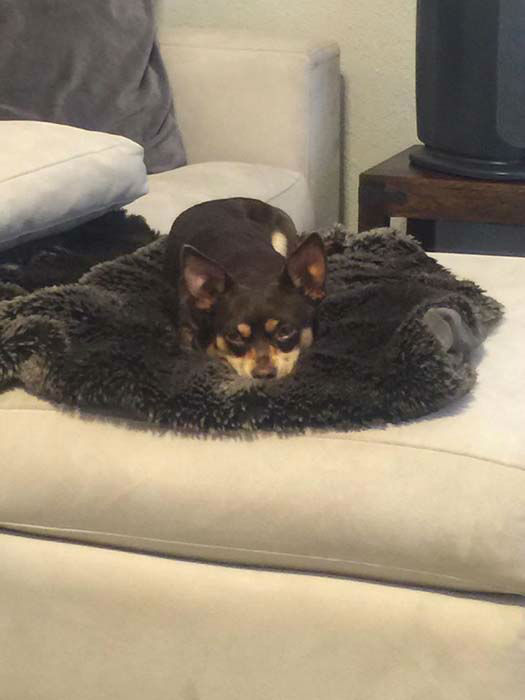 """<div class=""""meta image-caption""""><div class=""""origin-logo origin-image """"><span></span></div><span class=""""caption-text"""">Romeo's foster parents, brother & sister Amanda & Paul Luckey, are working to nurse the heartbroken Chihuahua back to health and find him a new forever home</span></div>"""