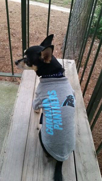 "<div class=""meta image-caption""><div class=""origin-logo origin-image ""><span></span></div><span class=""caption-text"">Poppy the dog in Panthers gear. (Johnna/iWitness photo)</span></div>"