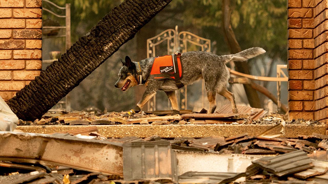<div class='meta'><div class='origin-logo' data-origin='none'></div><span class='caption-text' data-credit='Noah Berger/AP Photo'>A cadaver dog searches for victims of the Camp Fire in Paradise, Calif., on Thursday, Nov. 15, 2018.</span></div>