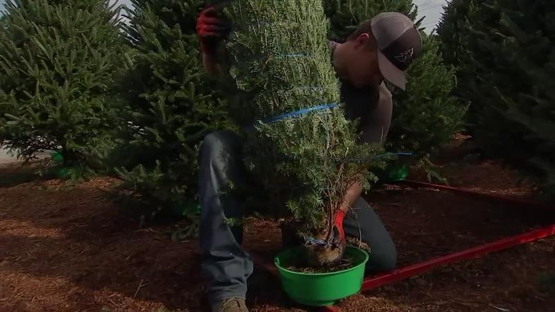 Christmas tree vendors brace for rush in spite of new Amazon service