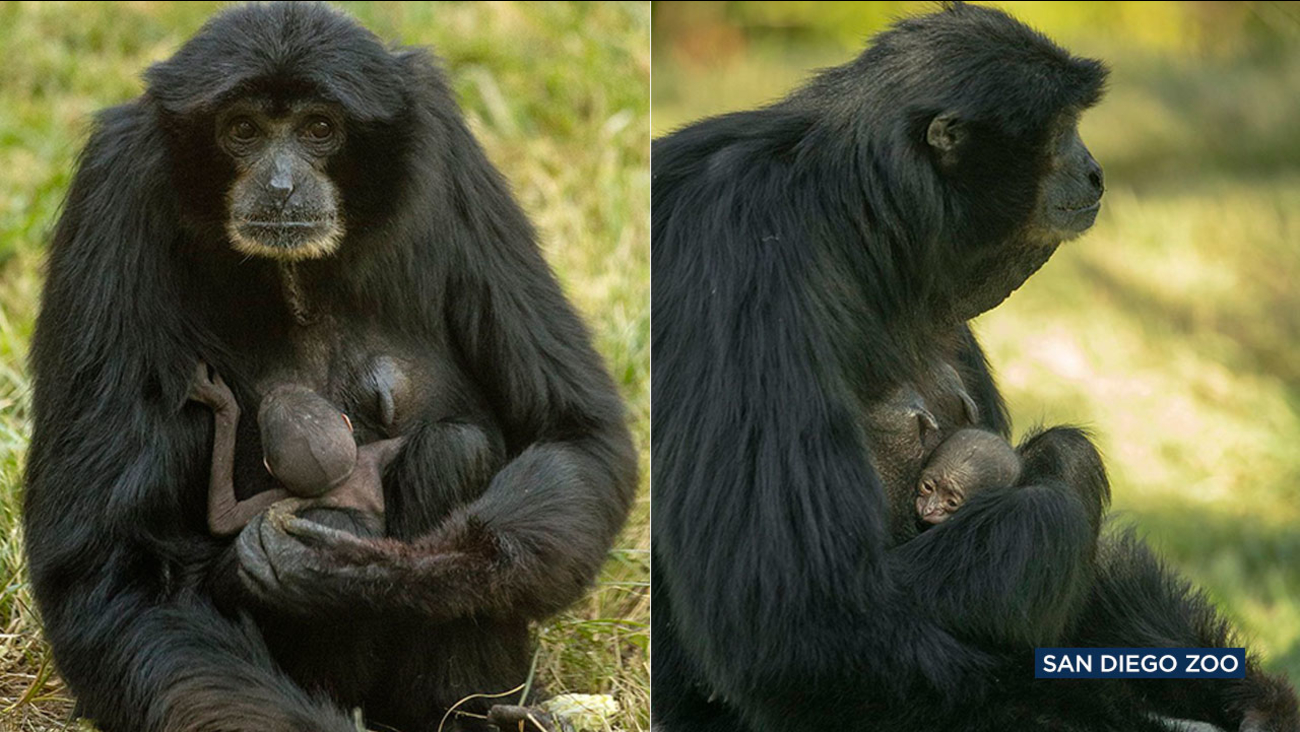 Baby Surprise San Diego Zoo S 37 Year Old Ape On Birth Control Has