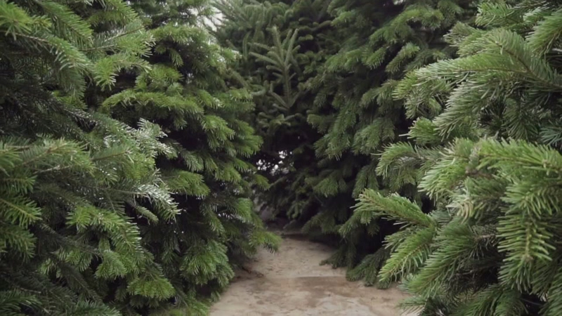 Cut Your Own Christmas Tree Near Me.10 Houston Area Farms For Cutting Your Own Christmas Tree