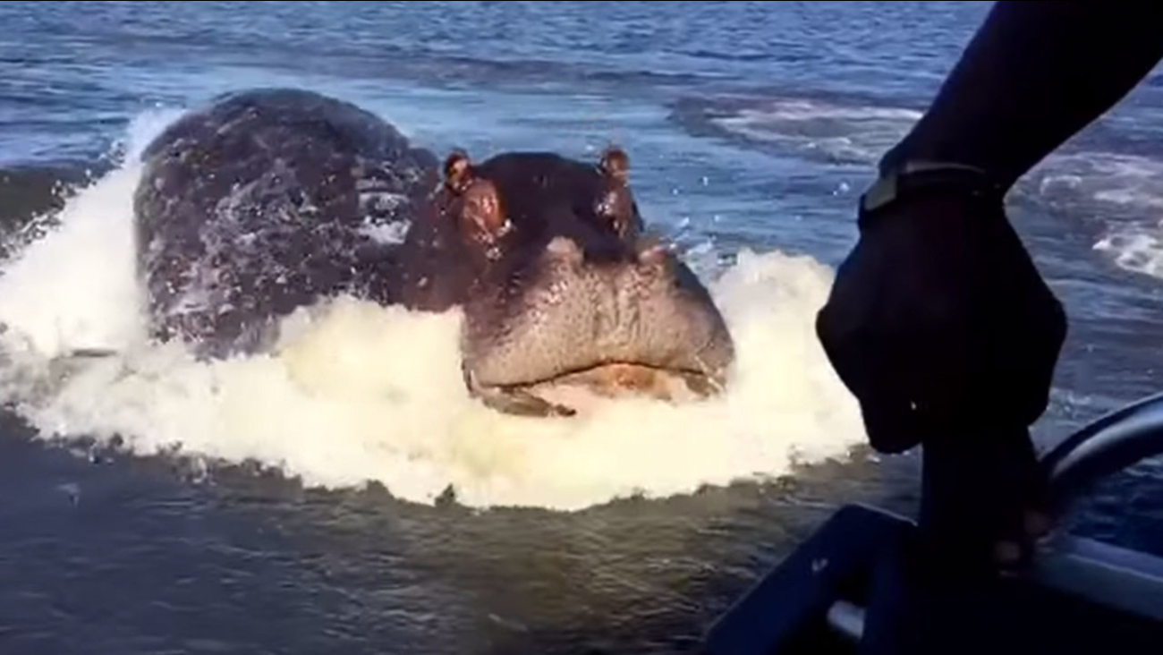 CAUGHT ON VIDEO: Hippo charges at speedboat in viral video   abc7 com