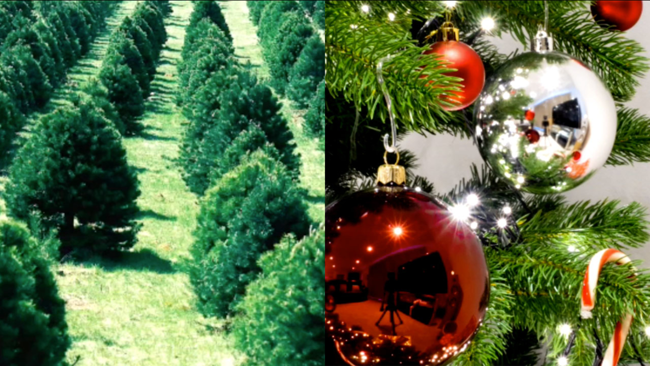 Real or fake Christmas tree? The pros and cons of cutting it down or ...