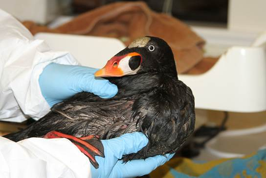"<div class=""meta image-caption""><div class=""origin-logo origin-image ""><span></span></div><span class=""caption-text"">Surf Scoter affected by mystery substance. (International Bird Rescue)</span></div>"