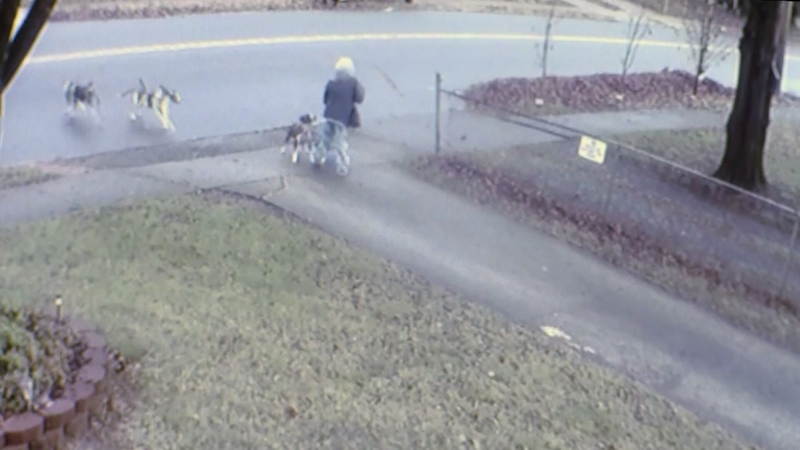 VIDEO: 4 dogs attack woman walking down street