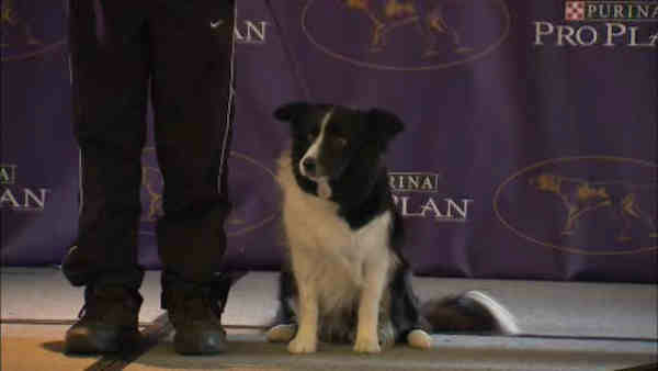 """<div class=""""meta image-caption""""><div class=""""origin-logo origin-image """"><span></span></div><span class=""""caption-text"""">Contestant in the Masters Agility Championship: Collie</span></div>"""