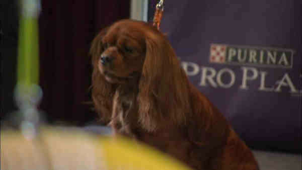 """<div class=""""meta image-caption""""><div class=""""origin-logo origin-image """"><span></span></div><span class=""""caption-text"""">Contestant in the Masters Agility Championship: Cavalier King Charles Spaniel</span></div>"""
