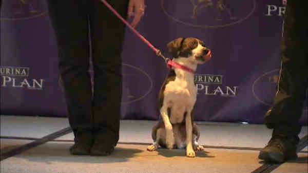 """<div class=""""meta image-caption""""><div class=""""origin-logo origin-image """"><span></span></div><span class=""""caption-text"""">Contestant in the Masters Agility Championship: All American dog (mixed breed)</span></div>"""