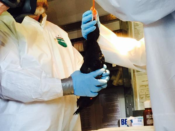 "<div class=""meta image-caption""><div class=""origin-logo origin-image ""><span></span></div><span class=""caption-text"">While rescuers try to save birds contaminated by the gooey substance, officials in Sacramento try to identify it at 2 labs on Tuesday, Jan. 20, 2015. (@LauraAnthony7)</span></div>"