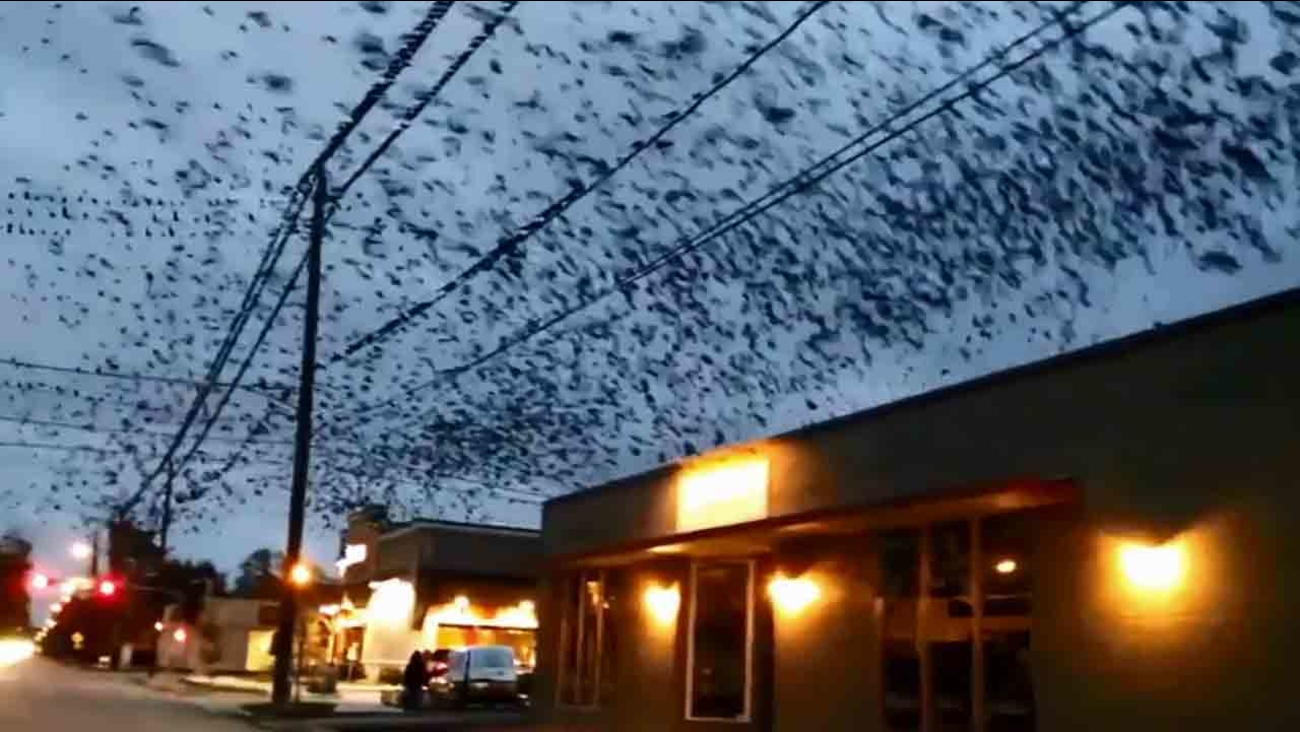 It was like a scene from Alfred Hitchcock's movie 'The Birds.' A giant flock of birds invaded the sky in a Houston neighborhood.