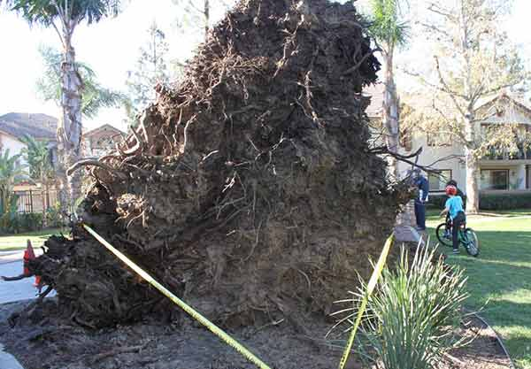 "<div class=""meta image-caption""><div class=""origin-logo origin-image ""><span></span></div><span class=""caption-text"">ABC7 viewer Kati Butcher shared this photo of a tree that fell over a playground in Rancho Cucamona on Saturday, Jan. 24, 2015. (ABC7 viewer Kati Butcher)</span></div>"