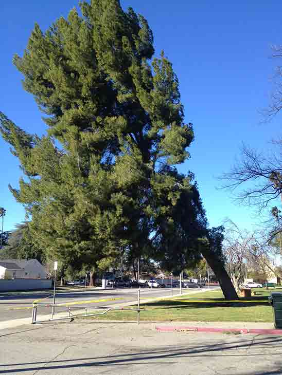 "<div class=""meta image-caption""><div class=""origin-logo origin-image ""><span></span></div><span class=""caption-text"">Strong winds caused a large pine tree to lean over the roadway near Sherman Way and Louise Avenue in Lake Balboa Saturday, Jan. 24, 2015.</span></div>"