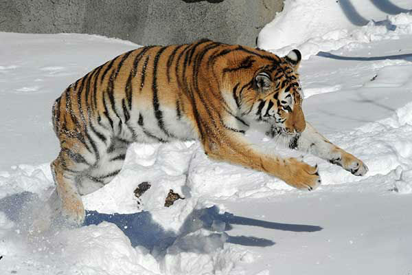 """<div class=""""meta image-caption""""><div class=""""origin-logo origin-image none""""><span>none</span></div><span class=""""caption-text"""">Feb. 2011: A tiger plays in the snow at the Brookfield Zoo after a Chicago blizzard. (Photo/Jim Schulz)</span></div>"""